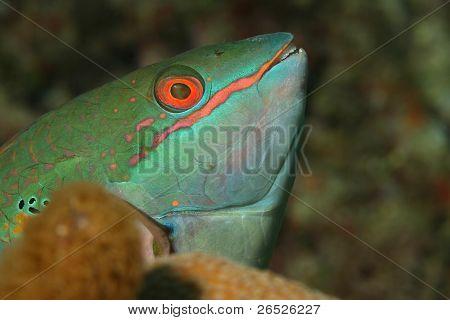 Redband Parrotfish - Roatan