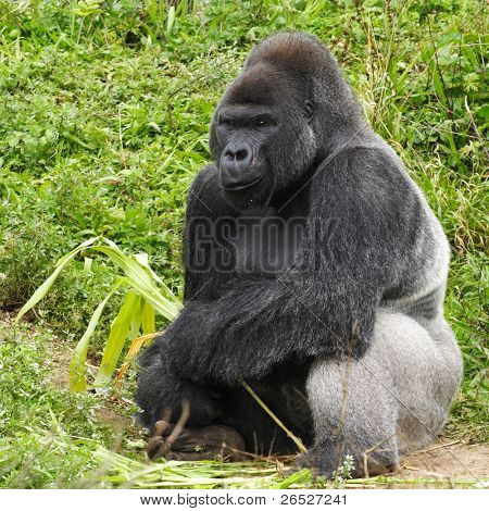 An adult siverback male gorilla feeding on vegatation