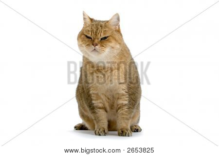 Brown Angora Cat'S Sitting Dow And Resting