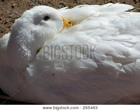 Sleepy Goose