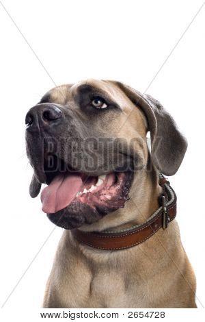 Mastiff Dog