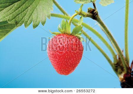 Fresh strawberry object on a blue background