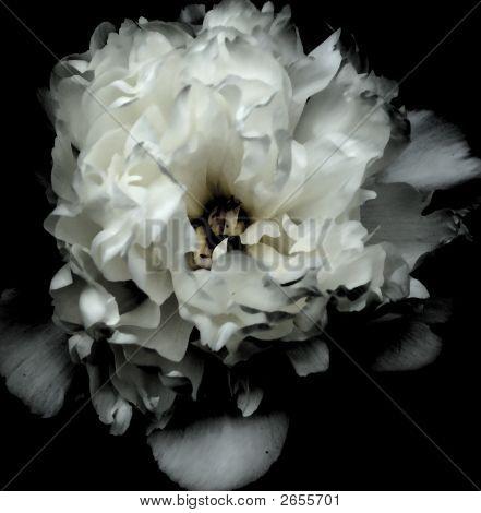Dark White Flower