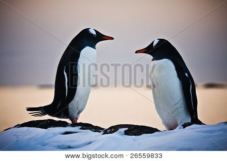 two identical penguins resting on the stony coast of Antarctica