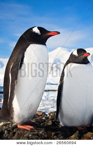 penguins standing on the rocks covered snow in Antarctica