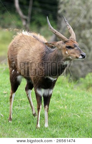 Buschbock Antilope