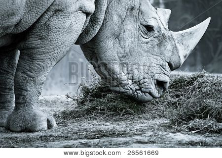 White rhino in black and white eating