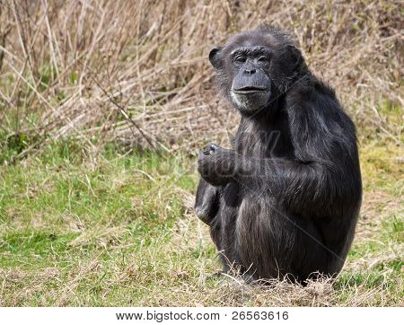 Chimpanzee sitting in the grass and looking at the camera