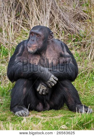 Chimpanzee sitting in a human position in the grass