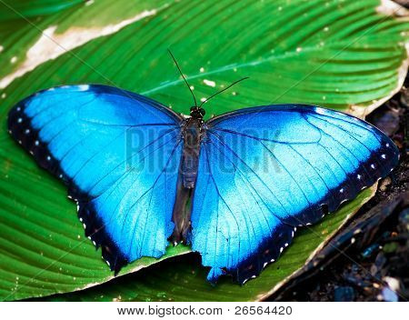 Big blue butterfly on a green leaf