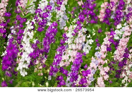 Larkspur - Delfinium flowers, lots of them on the background