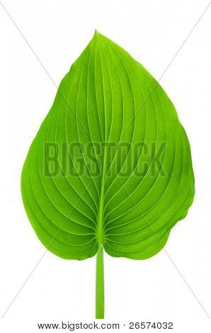Texture of a green leaf isolated on a white background