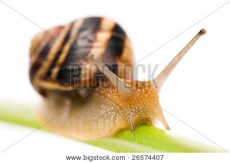 Big garden snail isolated on a white background