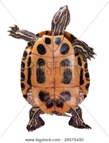 Beautiful turtle isolated on white background