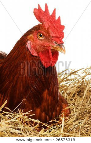 Cute hen on a nest of straw isolated on white background