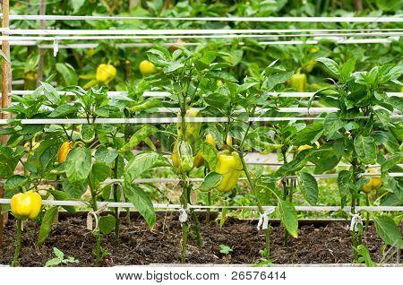 Algunos pimiento maduración en la selva en un jardín de cocina