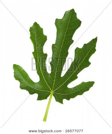 Close-up of green leaf of fig tree isolated on a white background