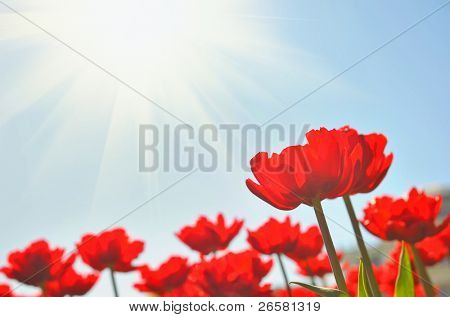 Red tulips under sun