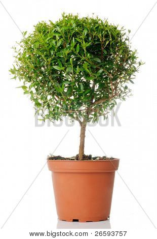 Small domestic tree isolated over white
