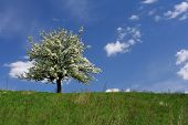 stock photo of tree-flower  - very beautiful flowering tree - JPG