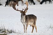 stock photo of deer rack  - beutiful male falow deer on the snow