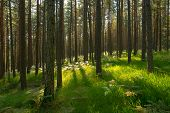 Morning In Pine Forest. Forest Landscape, Pine Trees In Green Forest Nature. Forest Pines Nature. Gr poster
