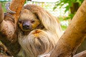 Cute Furry Sloth Sleeping While Holding On The Tree poster