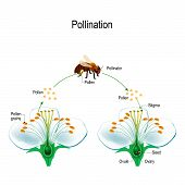 The Process Of Cross-pollination Using An Animal Of Pollinator (bee). Anatomy Of A Flower. Flower Pa poster
