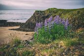 Purple Lupine Flowers Growing On The Sea Coast In Iceland. Natural Seasonal Travel Background. Beaut poster