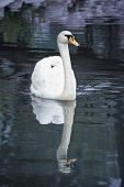 foto of water animal  - White swan in water - JPG