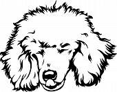 Animal Dog Poodle 3 Tg6Y.eps poster