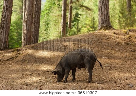 wild pig in corsica island pine forest, France
