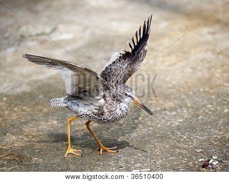 An image of the bird tringa totanus