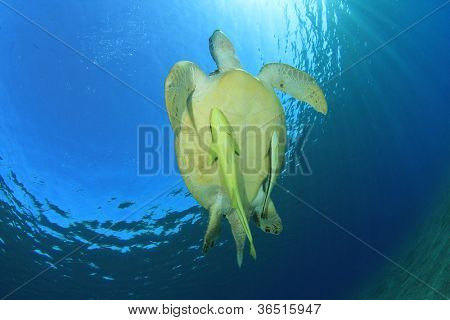 Green Sea Turtle with Remora Fish in the ocean