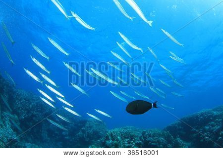 School of Yellowtail Barracuda Fish and Surgeonfish on coral reef