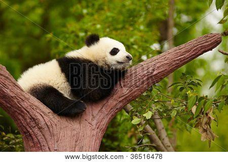 Dormir bebé panda gigante