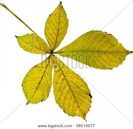 Leaf of horsechestnut tree (Aesculus hippocastanum) on a white background