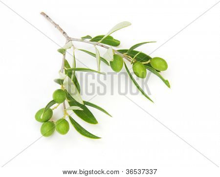 olive branch isolated on white.