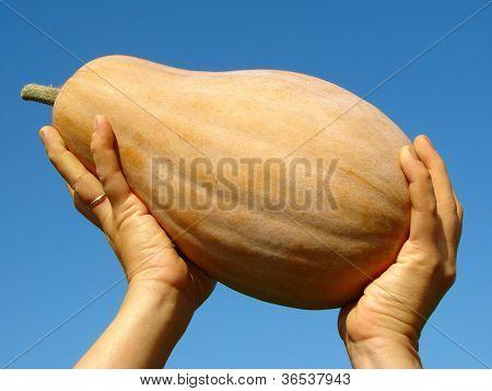 pumpkin - Cucurbita moschata - in farmer hands