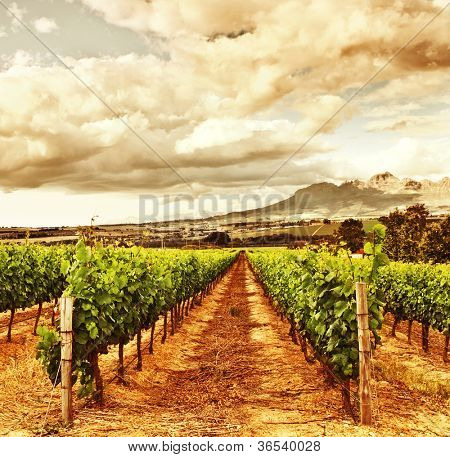 Photo of grape valley, harvest season, beautiful sunset over vineyard, plantation of fruits, winery farm, retro autumn background, grapes garden landscape, healthy organic food