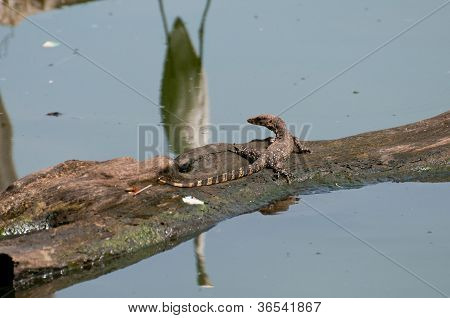 River Monitor Lizard and reflection of a white bird