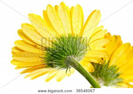 Yellow Gerbera Flower Extreme Close Up Back View