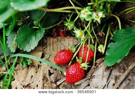 Red, Ripe Strawberries Waiting To Be Picked.