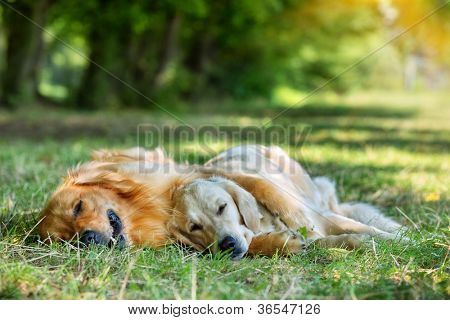 View of two dogs lying in the morning light - Golden Retriever