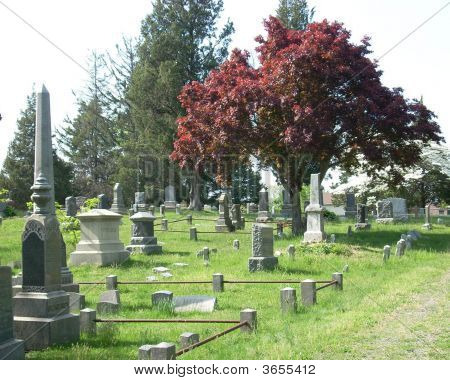 Maple Tree At Cemetary
