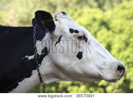 Holstein Closeup