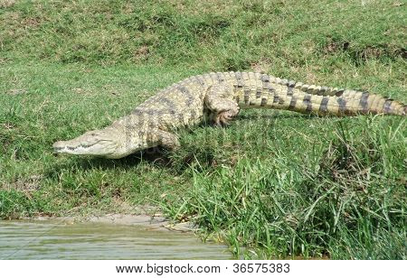 Nile Crocodile Running To The Water