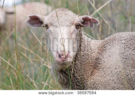 White Faced Sheep