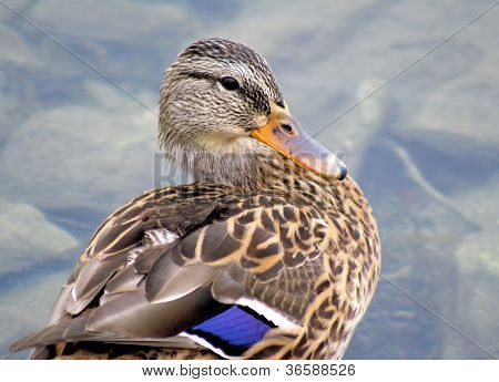 The Little Mallard