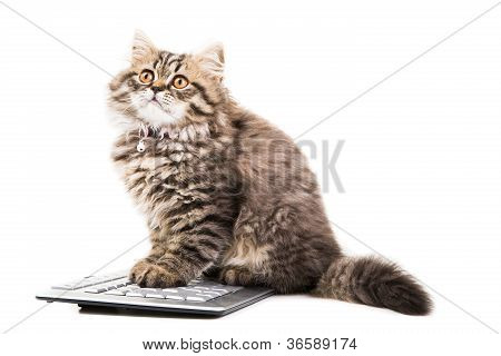 Persian Kitten Sitting Near The Keyboard On Isolated White